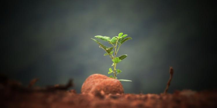 Planta tré